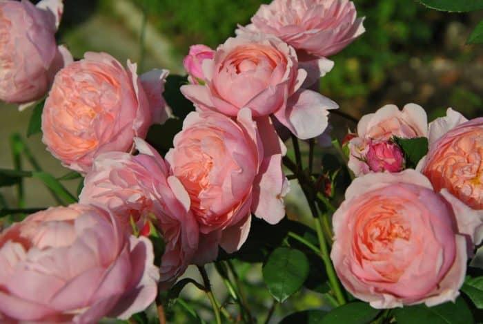 роза Алнвик