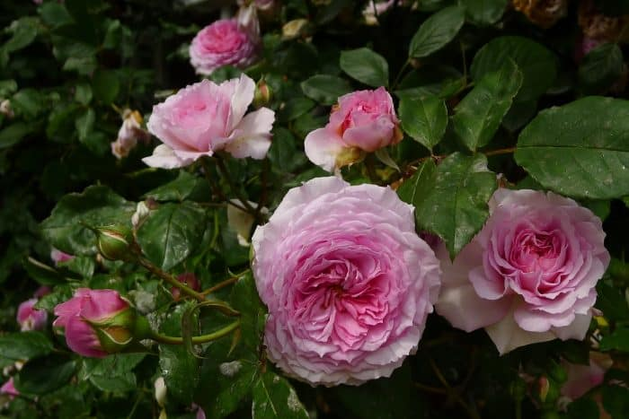 роза Джеймс голуэй