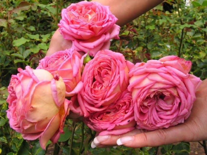 роза Джубили селебрэйшн