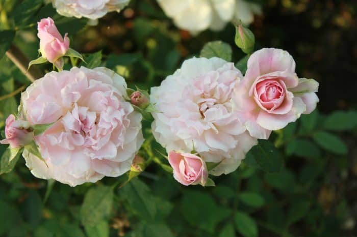 роза Пегасус