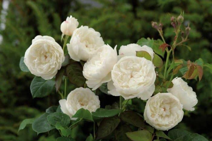 роза Транквилит