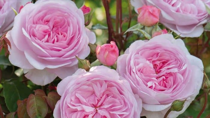роза Кэрри