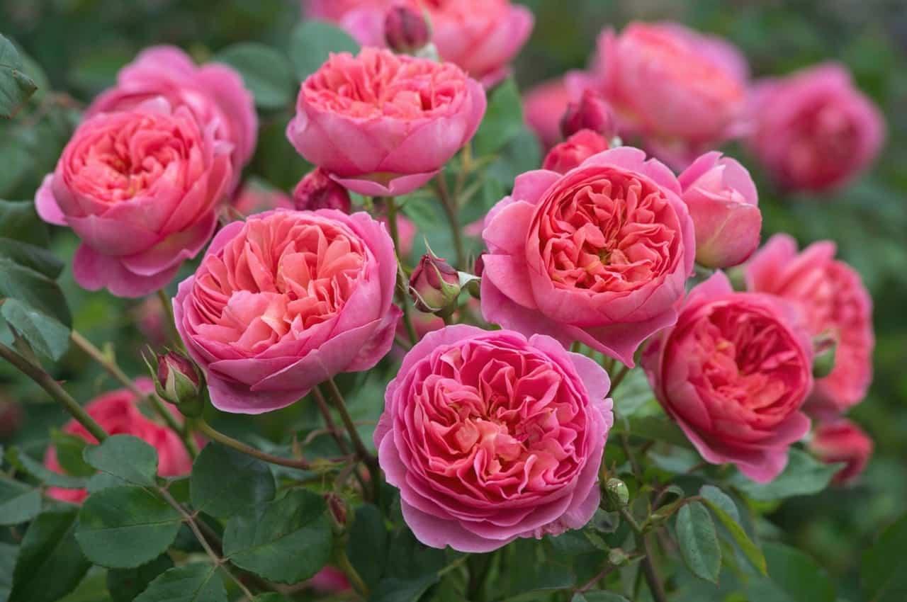 розовые английские розы