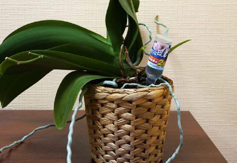 Как подкормить орхидею золой