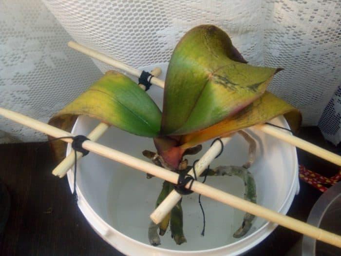 орхидея в растворе янтарной кислоты