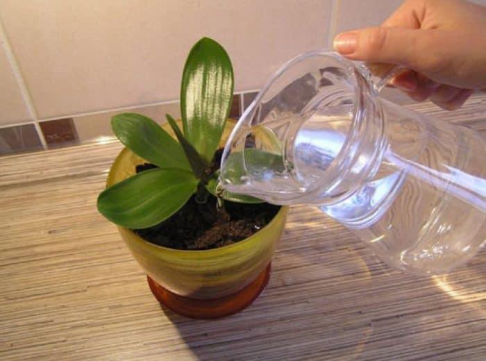 полив орхидей янтарной кислотой
