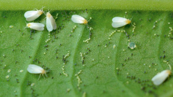 белокрылка на растении