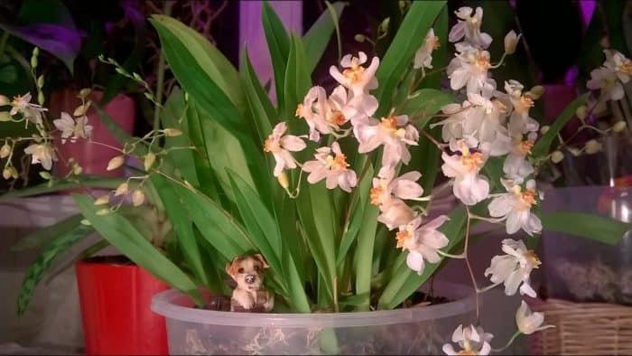 цветение онцидиума