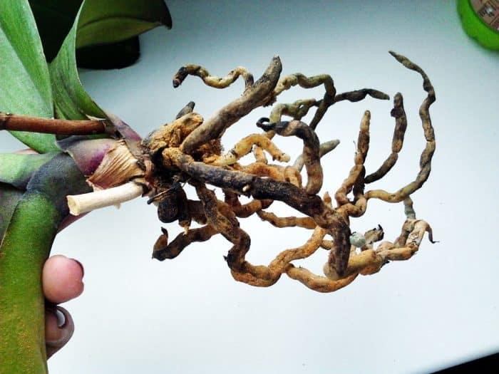 сгнившие корни орхидеи