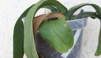 У орхидеи вянут листья – причины увядания и что делать, чтобы спасти растение и его детку