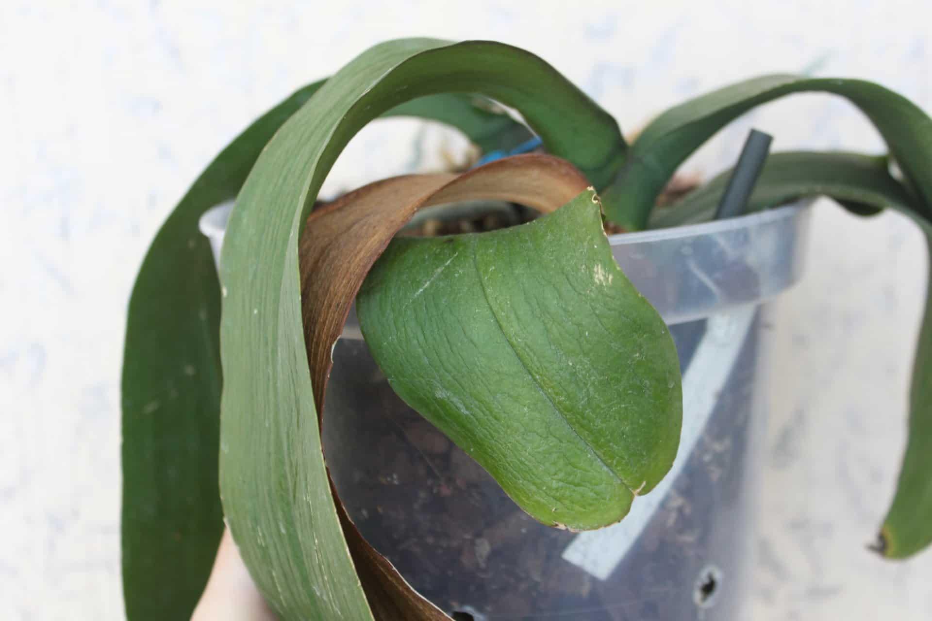 завядшие листья орхидеи