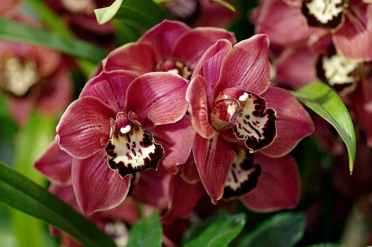 уход за орхидеей цимбидиум