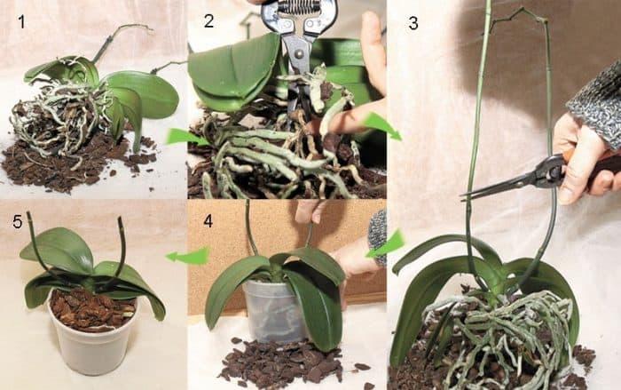 пересадка орхидеи фаленопсис в горшок