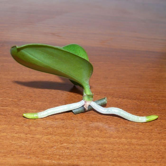 отросток фаленопсиса