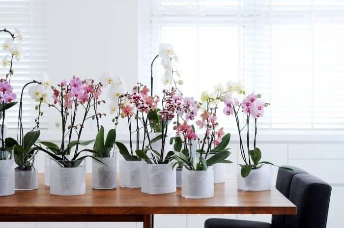 цветение фаленопсиса в горшочках