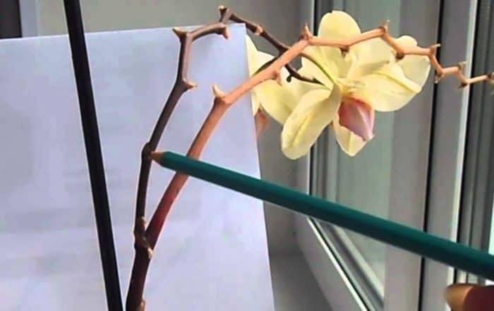 орхидея с подсохшей веткой