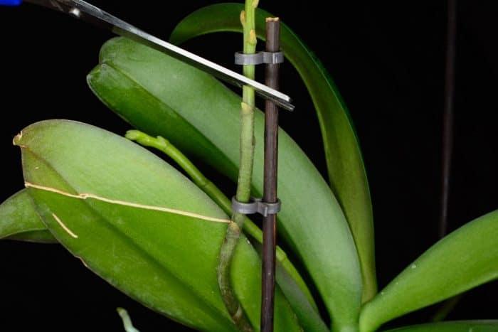 зеленый цветонос орхидеи