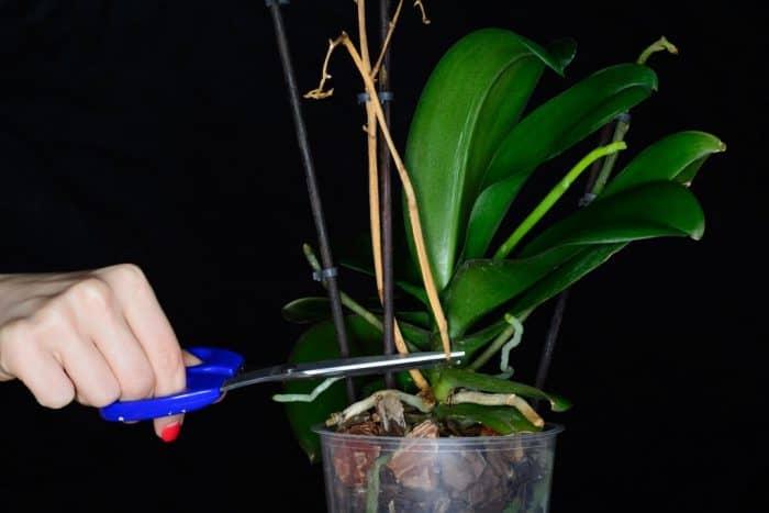 высохший цветонос орхидеи