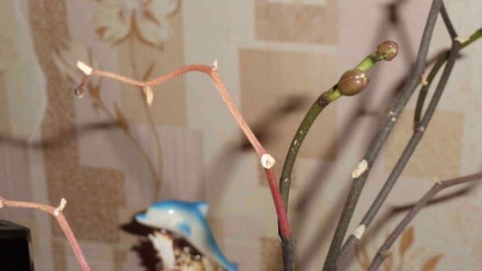 частично высохший цветонос орхидеи