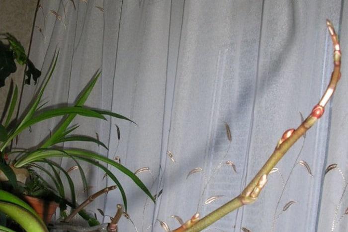 спящие почки на орхидее