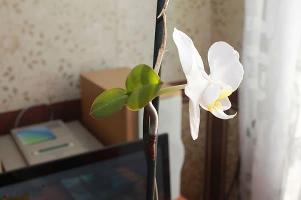 цветение белой орхидеи