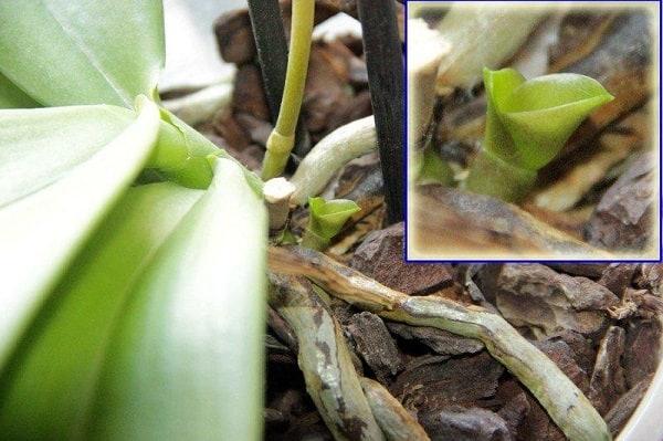 детка орхидеи на корне