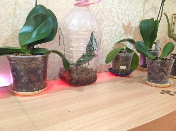 мох сфагнум в горошочках с орхидеями