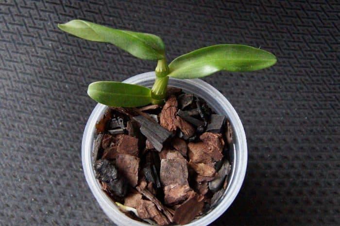детка орхидеии в горшочке с субстратом