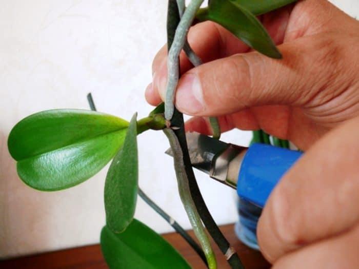 обрезка листьев орхидеи
