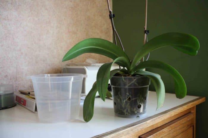посадка орхидеи в горшок
