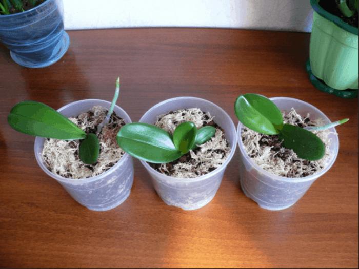 посадка деток орхидеи в горшки