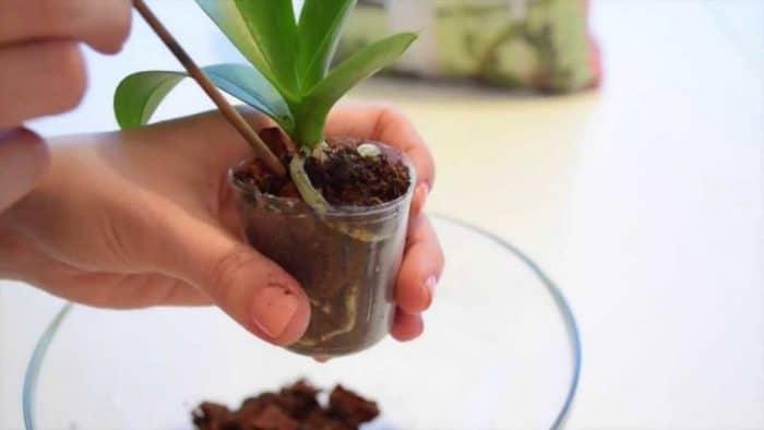 реанимирование детки орхидеи