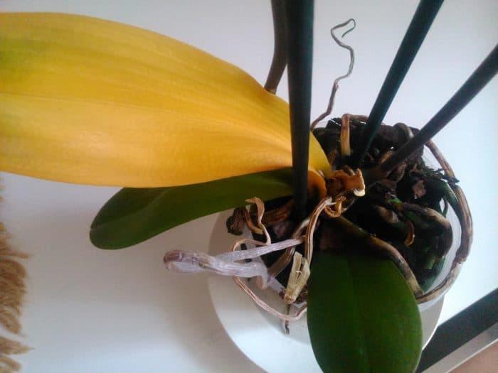 пожелтевшие листья орхидеи