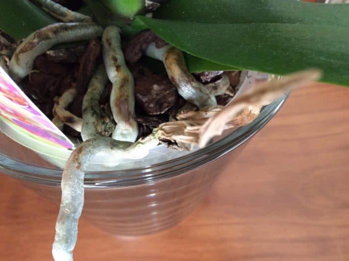 потемневшие корни орхидеи