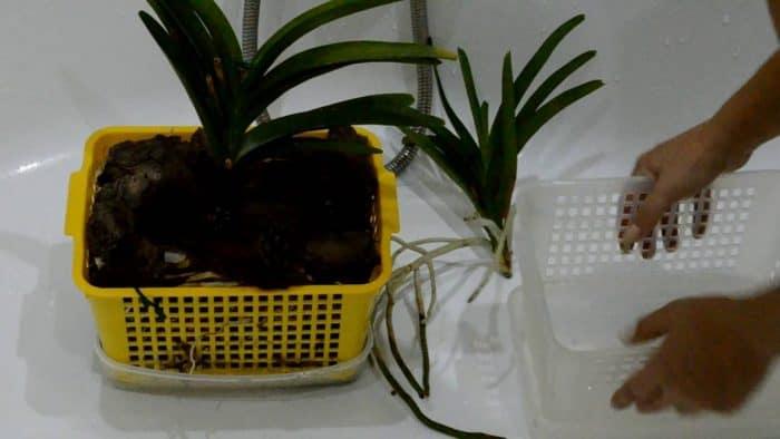 рассдка орхидеи ванда