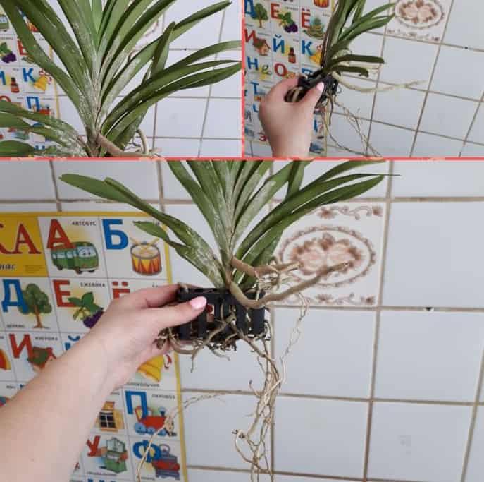 вирусное заболевание орхидеи ванды