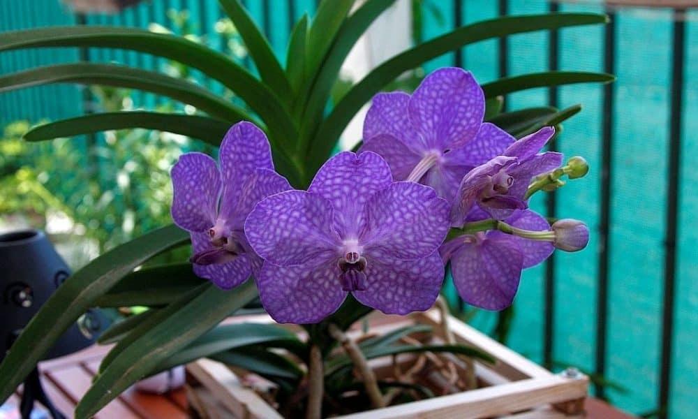 Орхидея Ванда - уход в домашних условиях за цветком