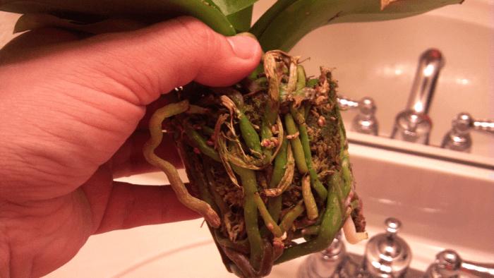 извлеченная орхидея из горшка