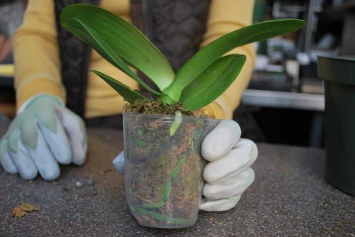 пересадка орхидеи