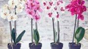 Почему не цветет орхидея – основные причины и решение проблемы в домашних условиях, что делать, если отсутствуют цветы после пересадки растения