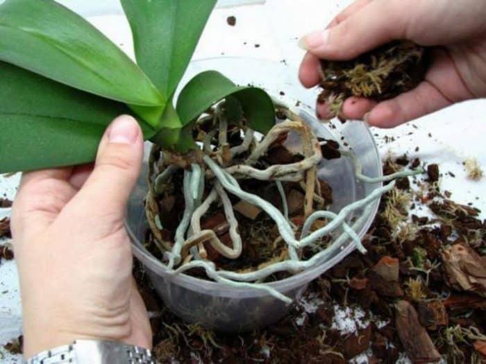 засыпка корней орхидеи грунтом
