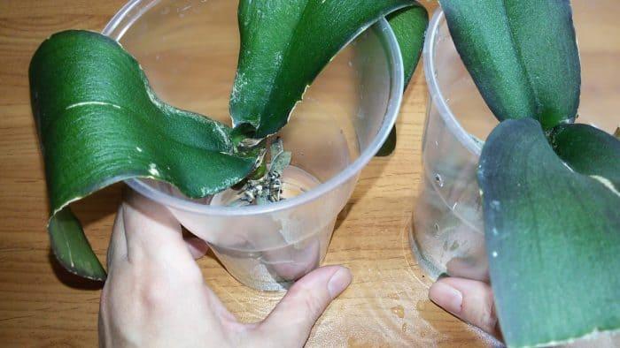 листья орхидее в пластиковых стаканчиках с водой