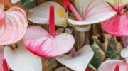 Цветущие растения семейства ароидные