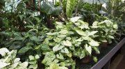Декоративно-лиственные ароидные: каталог с фото, полезные советы по выращиванию